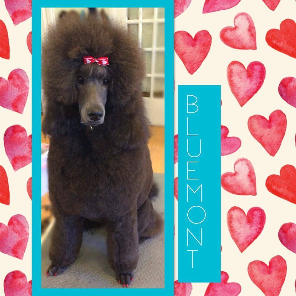 Dog Grooming - Poodle