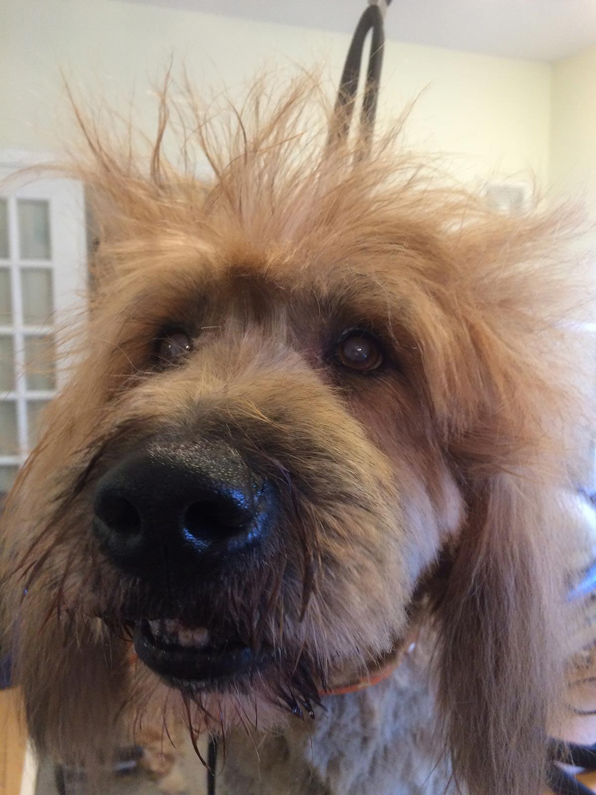 Dog Grooming - Beau
