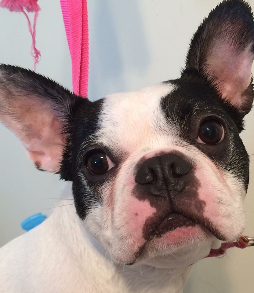 Dog Grooming - Feldman Boston Terrier