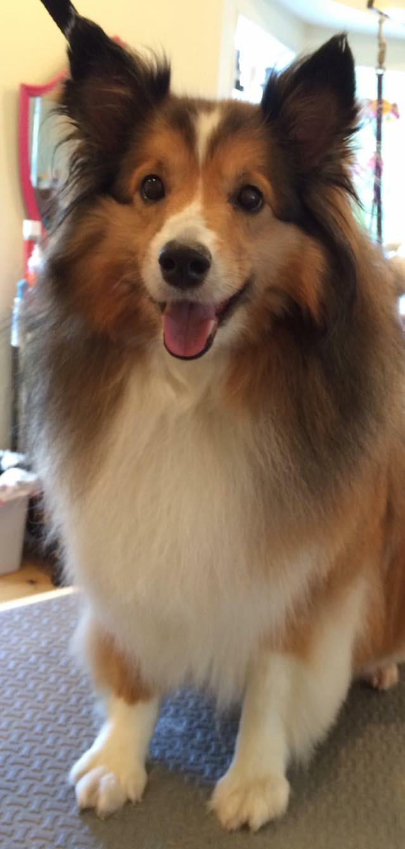 Sheltie dog grooming
