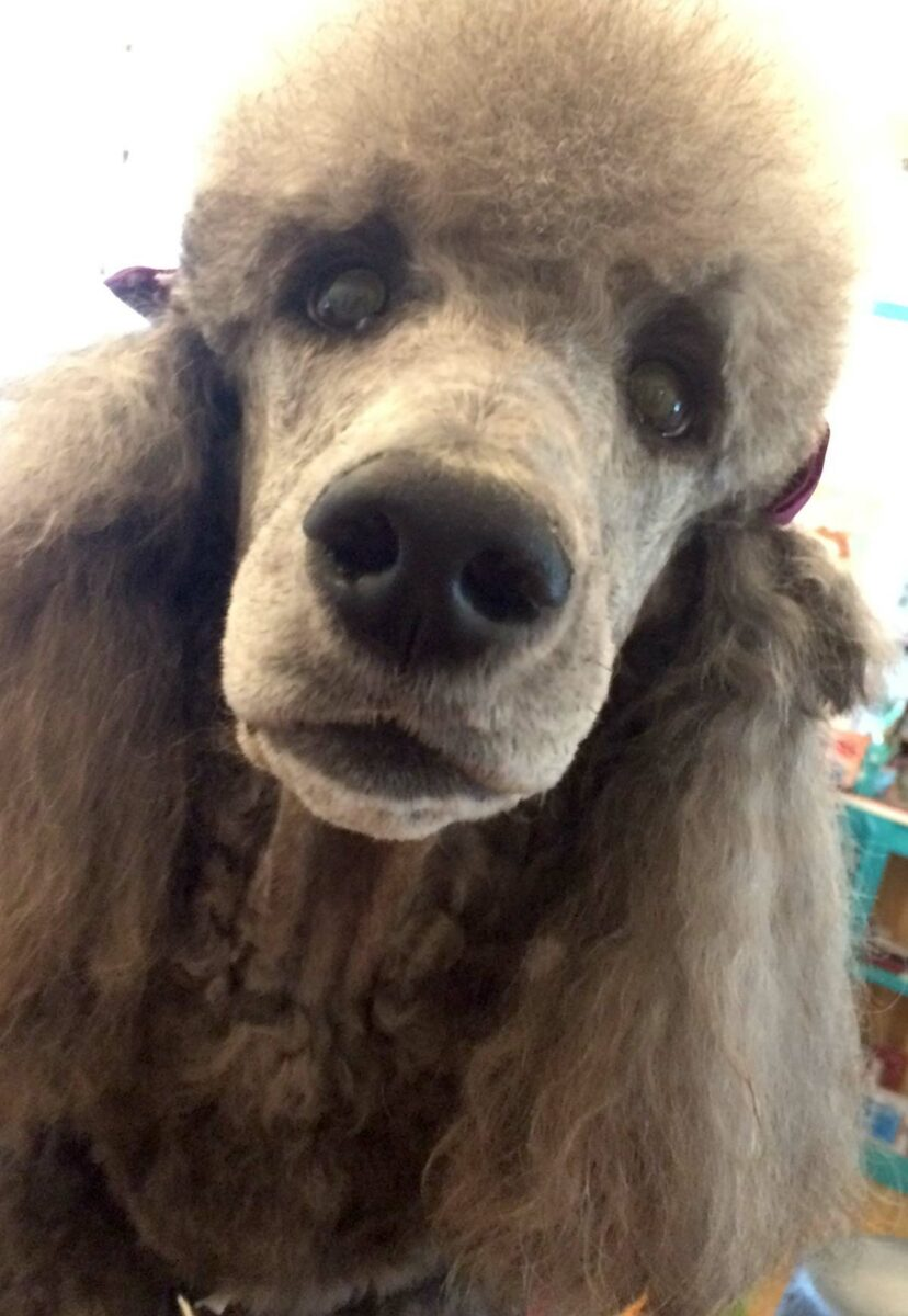 Dog Grooming - Poodle