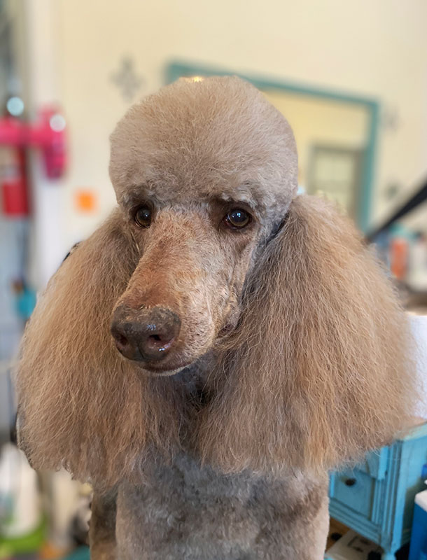 Poodle Groomer Kansas City